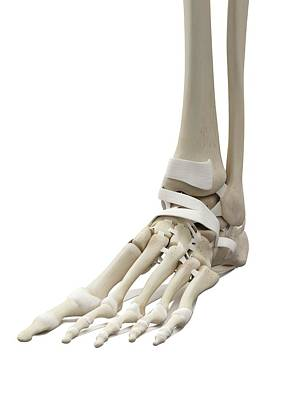 Human Foot Tendons Print by Sciepro