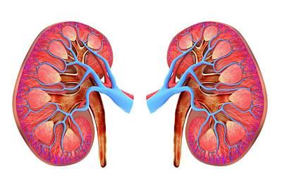 Human Kidneys Print by Alfred Pasieka