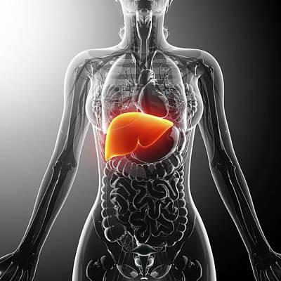Livers Photograph - Human Liver by Pixologicstudio