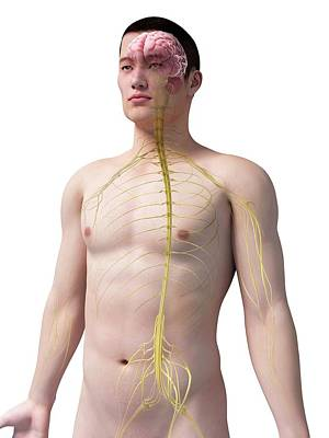 Human Internal Organ Photograph - Human Nervous System by Sebastian Kaulitzki