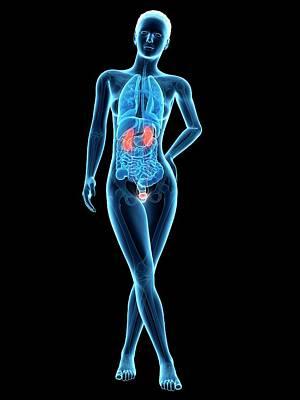 Human Internal Organ Photograph - Human Urinary System by Sebastian Kaulitzki