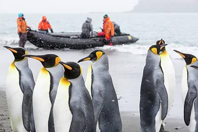 King Penguins On Salisbury Plain Print by Ashley Cooper