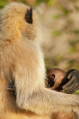 Langur Monkey, Amber Fort, Jaipur Print by Inger Hogstrom