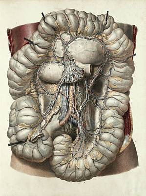 Large Intestine Print by Science Photo Library