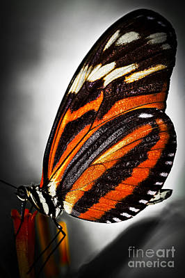 Milkweed Photograph - Large Tiger Butterfly by Elena Elisseeva