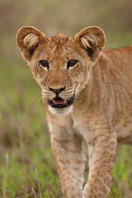 Congo Photograph - Lion (panthera Leo by Martin Zwick
