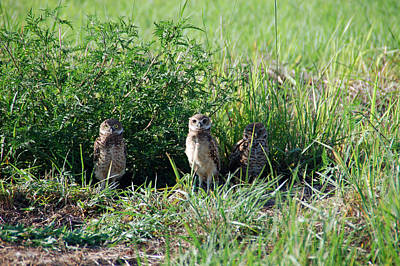 Owl Photograph - 3 Little Owls by Aimee L Maher Photography and Art Visit ALMGallerydotcom