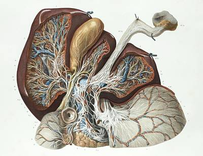 1839 Photograph - Liver by Science Photo Library