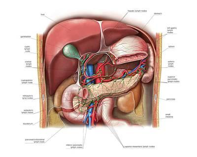 Lymphoid System Of The Abdomen Print by Asklepios Medical Atlas