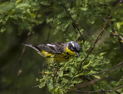 Magnolia Warbler Photograph - Magnolia Warbler by Doug Lloyd