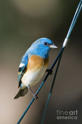 Bunting Photograph - Male Lazuli Bunting by William H. Mullins
