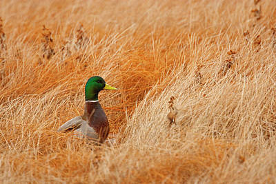 Hiding Photograph - Mallard (anas Platyrhynchos by Larry Ditto