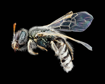 Perdita Photograph - Mining Bee by Us Geological Survey
