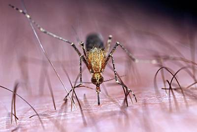 Bite Photograph - Mosquito Biting Hand by Frank Fox