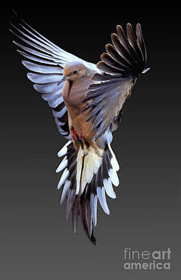 Dove Photograph - Mourning Dove by Anthony Mercieca