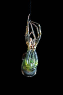 Orb-weaver Spider Moulting Print by Melvyn Yeo
