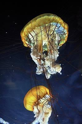 Pacific Sea Nettle Jellyfish Print by Bildagentur-online/mcphoto-schulz