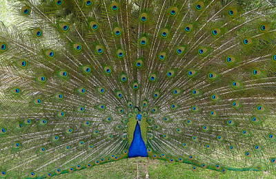 Peacock In Full Bloom Print by Denise Mazzocco