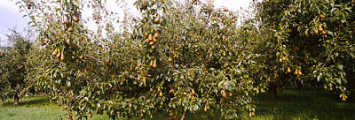 Pear Trees In An Orchard, Hood River Print by Panoramic Images