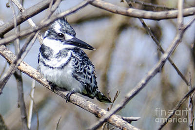 Bird Photograph - Pied Kingfisher by Pravine Chester