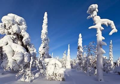 Pine Forest After Heavy Snowfall Print by Science Photo Library