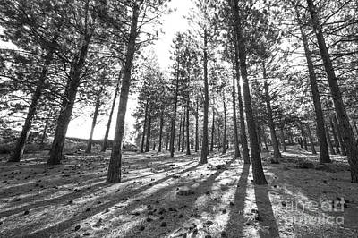 Oregon Photograph - Pines In An Oregon Forest by Twenty Two North Photography