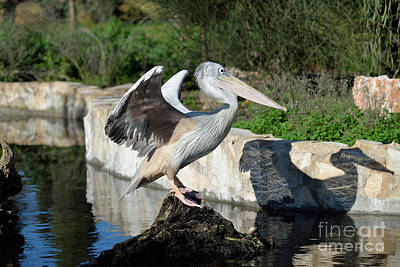Pelican Photograph - Pink Backed Pelican by George Atsametakis