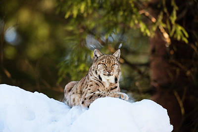 Portrait Of Eurasian Lynx (lynx Lynx Print by Martin Zwick