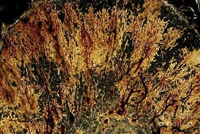 Cajal Photograph - Purkinje Nerve Cells, Light Micrograph by Pasieka
