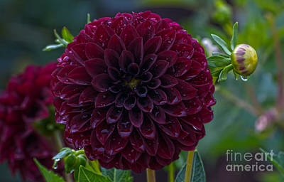 Outdoor Photograph - Purple Dahlia With Water Drops by Mandy Judson