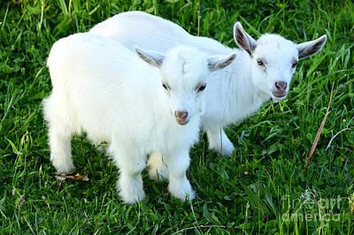 Pygmy Goat Twins Print by Thomas R Fletcher