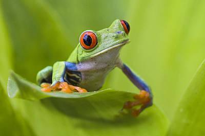 Red-eyed Tree Frog Costa Rica Print by Suzi  Eszterhas