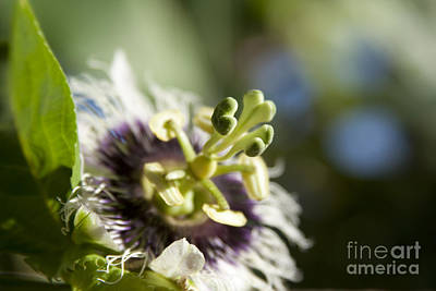 Passiflora Photograph - Reminiscence by Sharon Mau