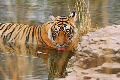 Royal Bengal Tiger Drinking Print by Jagdeep Rajput