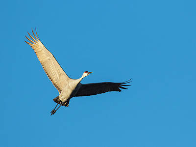 Sandhill Crane Photograph - Sandhill Cranes Flying, Grus by Maresa Pryor