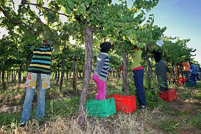 Seasonal Workers Harvesting Grapes Print by Tony Camacho