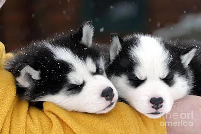 Siberian Husky Puppies Print by Rolf Kopfle