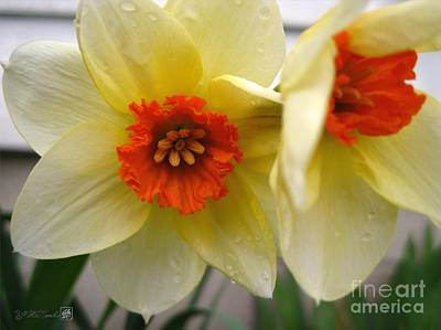 Mccombie Photograph - Small-cupped Daffodil Named Barrett Browning by J McCombie