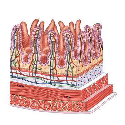 Small Intestine Print by Asklepios Medical Atlas