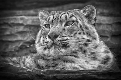 Leopard Photograph - Snow Leopard by Chris Boulton