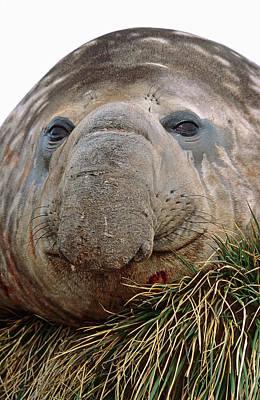 Harem Photograph - Southern Elephant Seal (mirounga Leonina by Martin Zwick