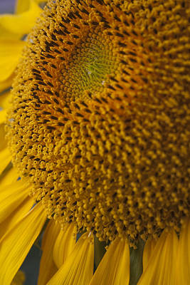 Flower Photograph - Sunflower by Gary Marx