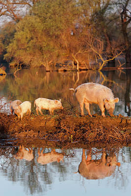Unusual Animal Photograph - The Domestic Pigs Of Maliuc Often Roam by Martin Zwick