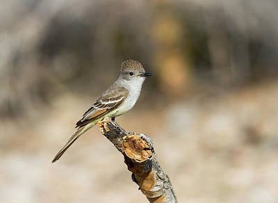 Flycatcher Photograph - Usa, Arizona, Buckeye by Jaynes Gallery