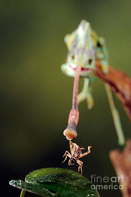 Highspeed Photograph - Veiled Chameleon Catches Cricket by Scott Linstead