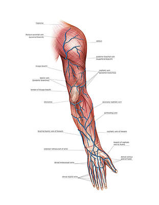 Of Hands Photograph - Venous System Of The Upper Limb by Asklepios Medical Atlas
