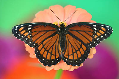 Gerber Daisy Photograph - Viceroy Butterfly A Mimic by Darrell Gulin