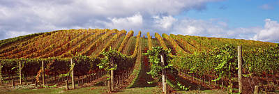 Viniculture Photograph - Vineyard At Napa Valley, California, Usa by Panoramic Images
