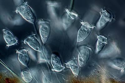 Vorticella Protozoa Print by Frank Fox