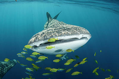 Whale Shark And Golden Trevally Print by Pete Oxford